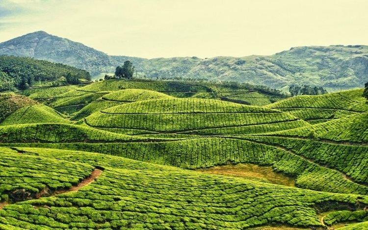 фото индийский чай